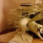 dog-vs-blinds